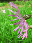 Ragged-robin : 3- Flower