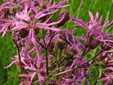 Ragged-robin : 4- Flowers