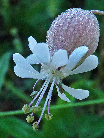 Bladder campion (Silene vulgaris) : Flowers