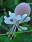 Silène enflé : 1- Fleur