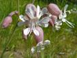 Bladder campion : 8- Flowers