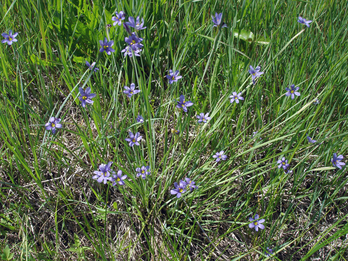 Bermudienne commune (Sisyrinchium montanum) Colonie