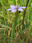 Strict blue-eyed grass : 1- Flowering plant