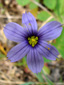 Strict blue-eyed grass : 2- Flower