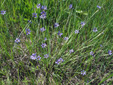 Strict blue-eyed grass : 5- Colony