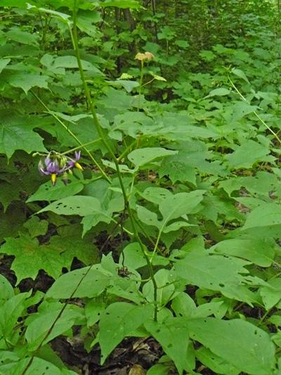 Morelle douce-amere (Solanum dulcamara) Plante en fleurs