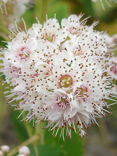 Broad-leaved meadowsweet (Spiraea latifolia) : Flowers