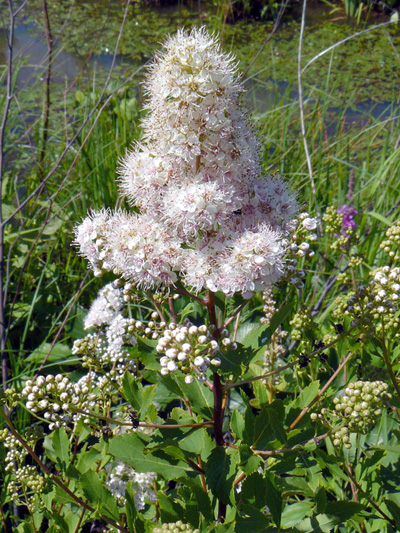 Broad-leaved meadowsweet (Spiraea latifolia) : Flowering plant