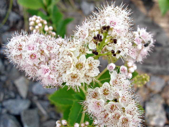 Broad-leaved meadowsweet (Spiraea latifolia) : Inflorescence, flowers, buds and fruits