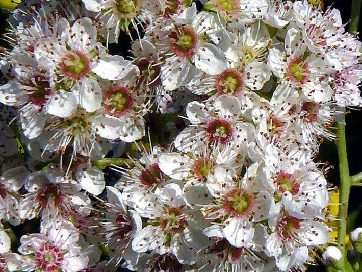 Spiree a larges feuilles (Spiraea latifolia) Fleurs