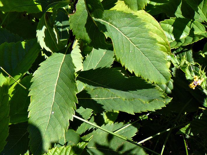 Spiree a larges feuilles (Spiraea latifolia) Feuilles