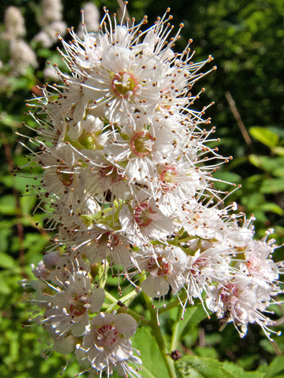 Broad-leaved meadowsweet (Spiraea latifolia) : Inflorescence