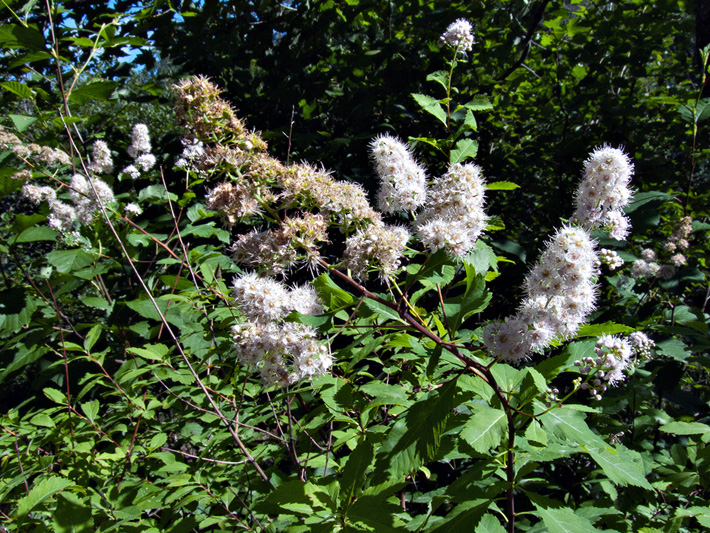 Broad-leaved meadowsweet (Spiraea latifolia) : Flowering plants