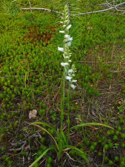 Nodding ladies'-tresses (Spiranthes cernua) : Flowering plant
