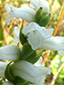 Nodding ladies'-tresses : 7- Flowers