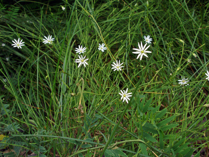 Grass-leaved starwort (Stellaria graminea) : Flowering plants
