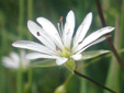 Grass-leaved starwort : 2- Male flower