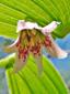 Streptope rose : 3- Fleur