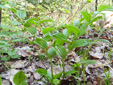 Streptope rose : 4- Plantes en fleurs