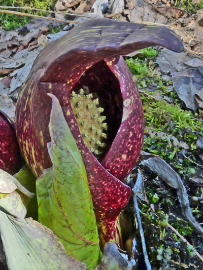 Symplocarpe chou-puant (Symplocarpus foetidus) Fleur