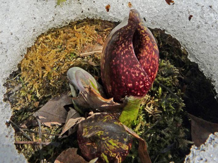 Eastern skunk cabbage (Symplocarpus foetidus) : Flower