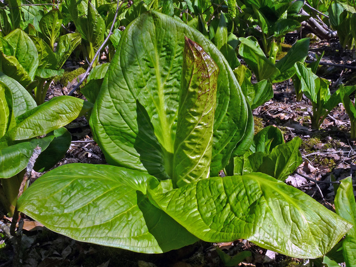 Eastern skunk cabbage (Symplocarpus foetidus) : Plant with developing  leaves