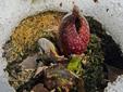 Symplocarpe chou-puant : 2- Fleur
