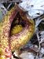 Symplocarpe chou-puant : 4- Fleur