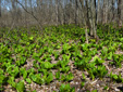Eastern skunk cabbage : 6- Young leaves plants colony