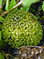 Eastern skunk cabbage : 8- Green fruit