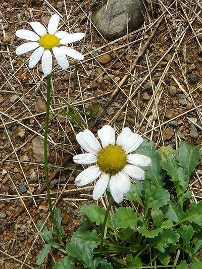 Common feverfew (Tanacetum parthenium) : Flowering plant