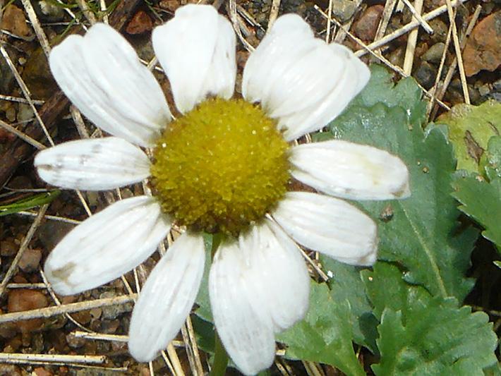 Common feverfew (Tanacetum parthenium) : Flower