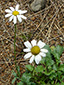 Common feverfew : 1- Flowering plant