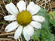 Common feverfew : 2- Flower