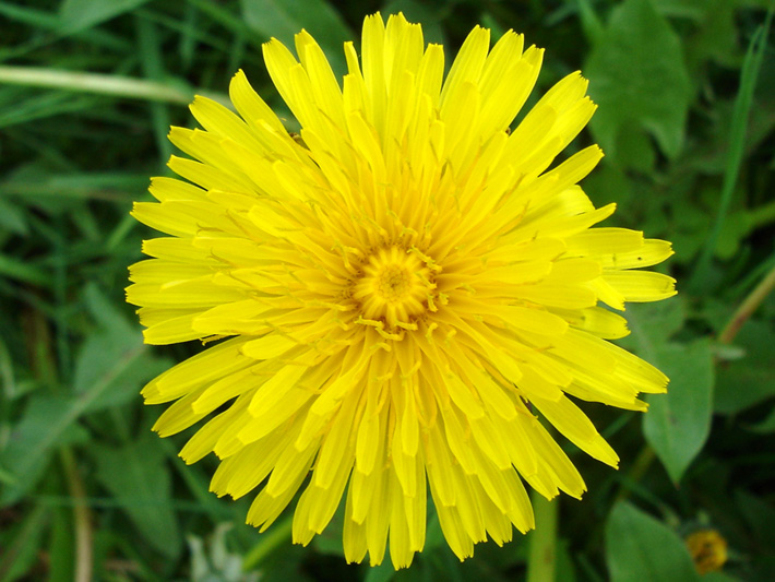 Common dandelion (Taraxacum officinale) : Flower