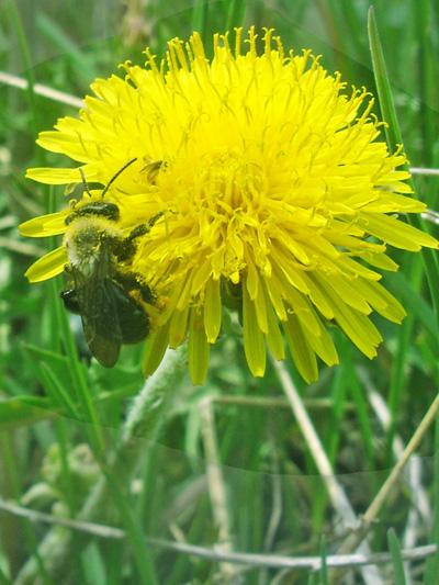 Pissenlit officinal (Taraxacum officinale) Fleur