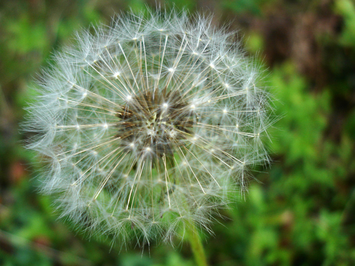 Common dandelion (Taraxacum officinale) : Fruits (achene with pappus)