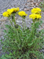 Common dandelion : 1- Flowering plants