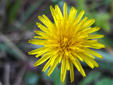Common dandelion : 5- Flower