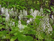 Heart-leaved foamflower : 3- Flowering plants