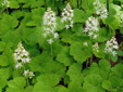 Heart-leaved foamflower : 5- Plants with buds and flowers