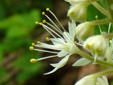 Heart-leaved foamflower : 6- Flower with yellow anthers