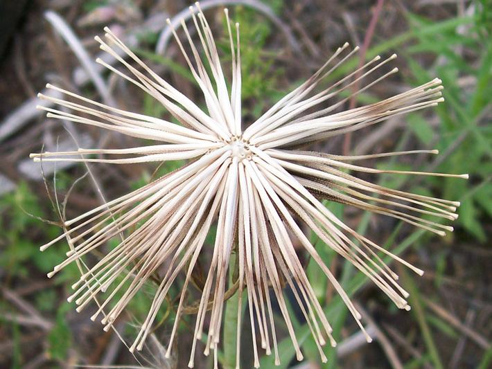 Salsifis des pres (Tragopogon pratensis) Sans akènes à aigrette