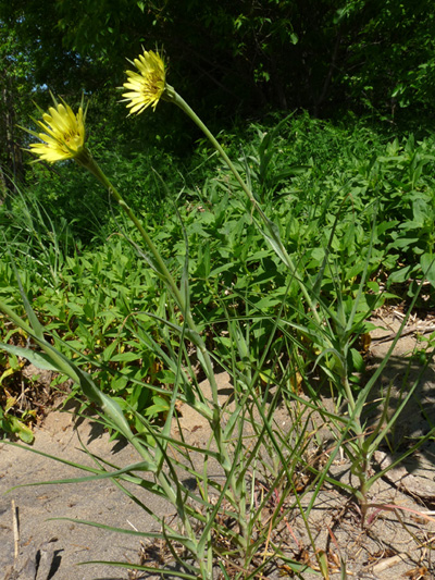 Salsifis des pres (Tragopogon pratensis) Plantes en fleur