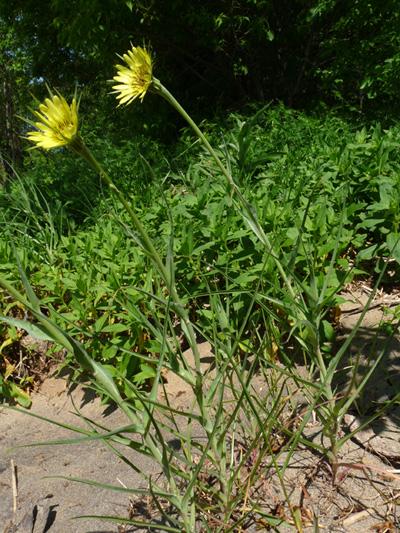 Meadow goatsbeard (Tragopogon pratensis) : Flowering plants