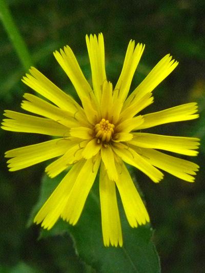Meadow goatsbeard (Tragopogon pratensis) : Young flower