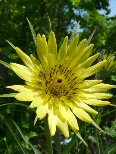 Salsifis des pres (Tragopogon pratensis) Fleur