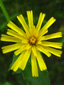 Meadow goatsbeard : 3- Young flower