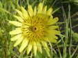 Meadow goatsbeard : 4- Flower