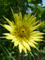 Meadow goatsbeard : 6- Flower